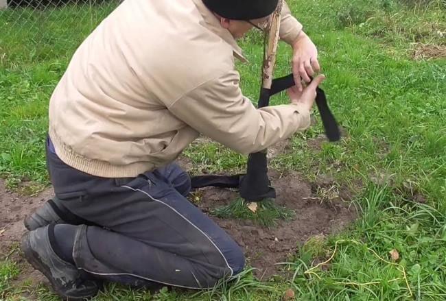 Подготовка штамба молодого деревца груши к первой зиме