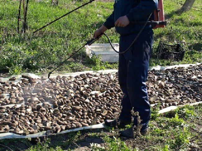 Опрыскивание семенного картофеля перед посадкой в открытый грунт