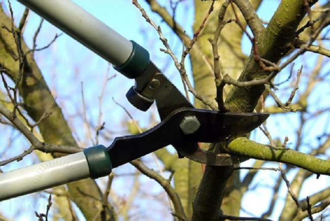 Санитарная обрезка веток груши ранней весной сучкорезом