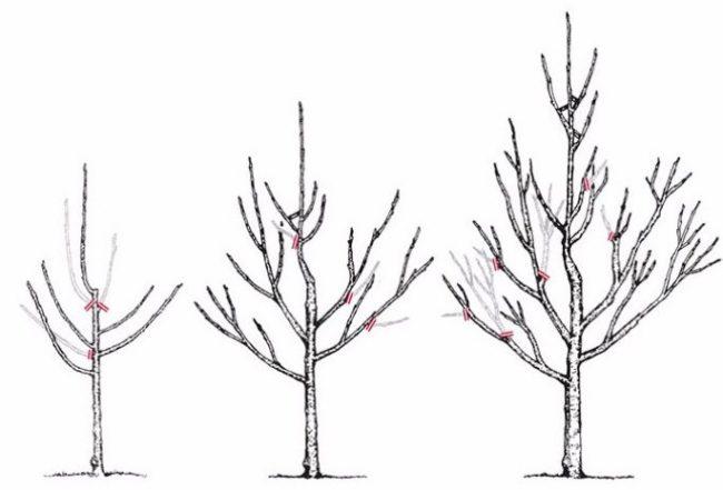 Схема формирования кроны груши в течении первых трех лет после посадки