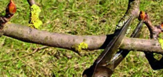 Обрезка ствола груши для формирование кроны