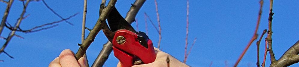 Обрезка веток груши красным секатором