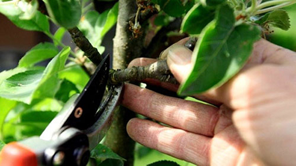 Летняя обрезка веток груши острым садовым секатором