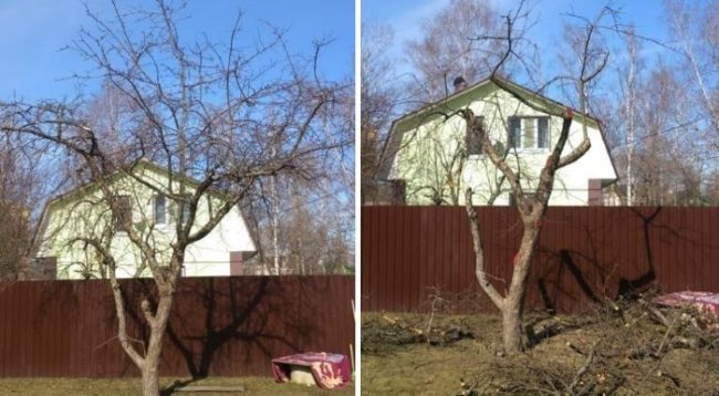 Омолаживающая обрезка старого дерева груши – фото до и после работы