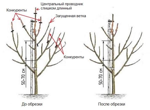 Схема обрезки трехлетнего деревца груши с удалением веток-конкурентов