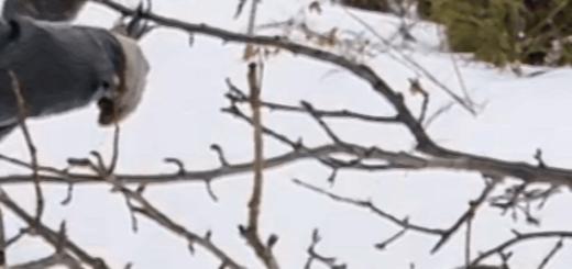 Человек весной обрезает ветви груши