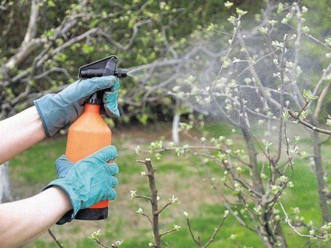 Опрыскивание груши из ручного распылителя до распускания почек