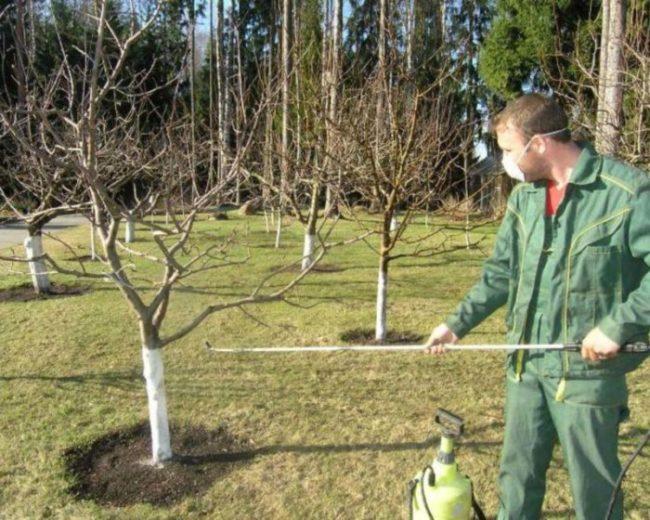 Весеннее опрыскивание плодового сада раствором медного купороса