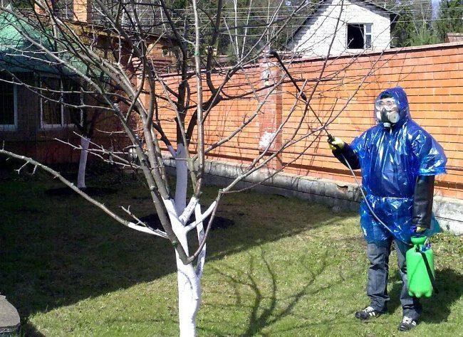 Весеннее опрыскивание грушевого дерева раствором медного купороса