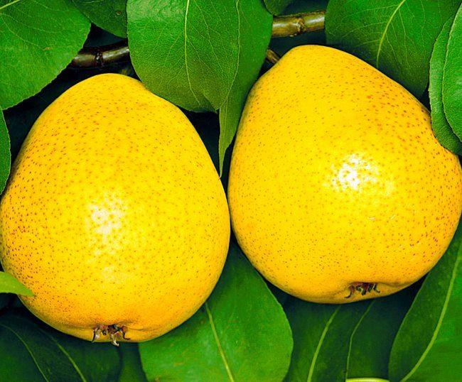 Плоды груши сорта Осенняя сладкая ярко-желтого окраса с небольшими коричневыми крапинками