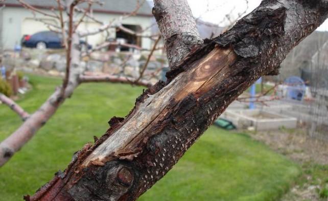 Фото ствола грушевого дерева с раной от солнечного ожога