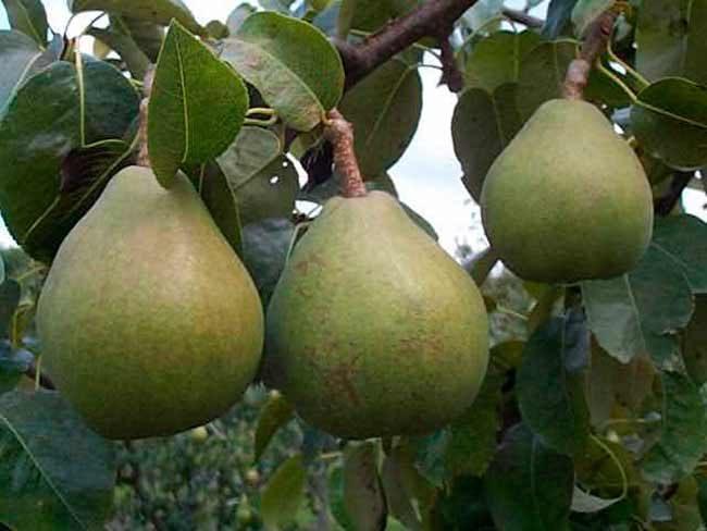 Ветка грушевого деревца с зеленоватыми плодами сорта Памяти Жегалова