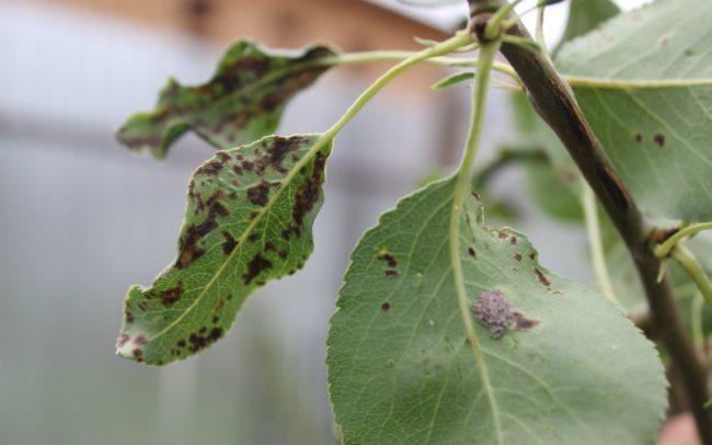 Листья груши с темными пятнами от парши