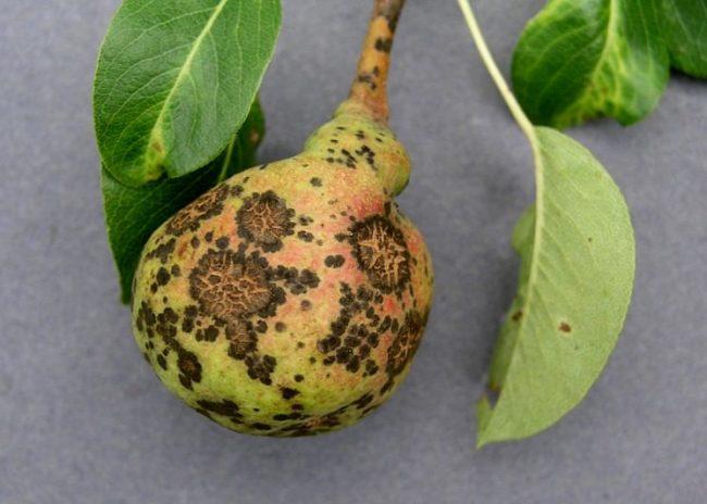 Плод груши с темными пятнами, признаками поражения растения паршой