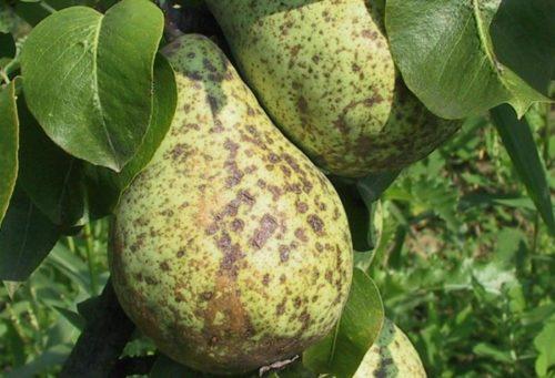 Буро-коричневые пятна на плодах груши от парши
