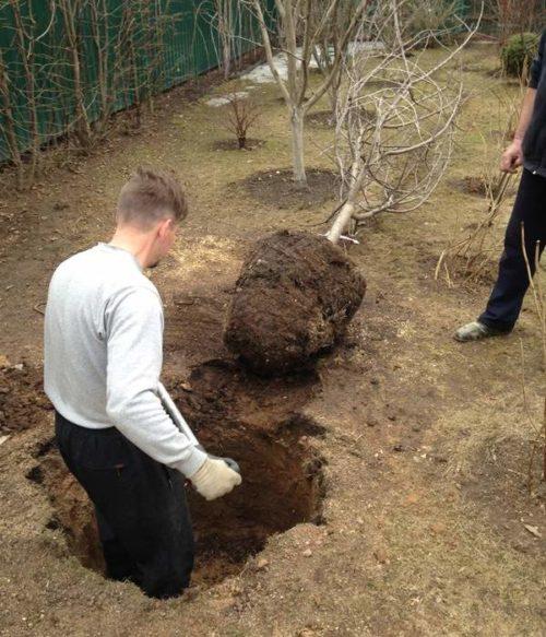 Копка ямы глубиной около метра для пересадки взрослой груши