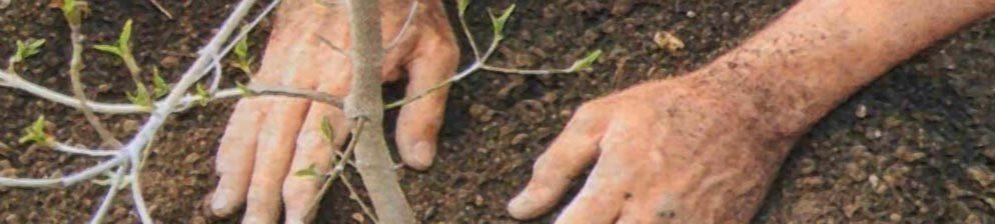 Утрамбовывание земли при пересадке груши
