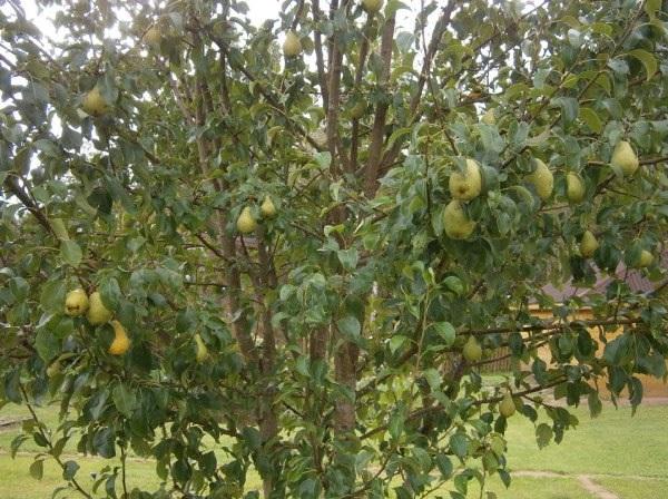 Молодая груша сорта Лада во время первого плодоношения