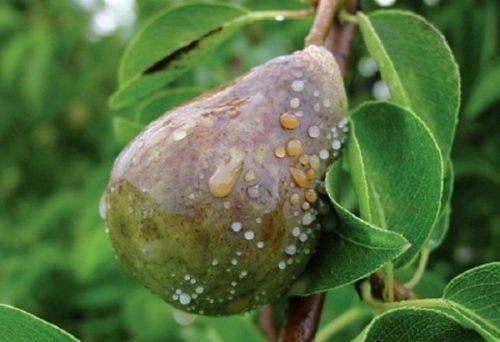 Гнилой плод груши с коричневыми пятнами и плесенью