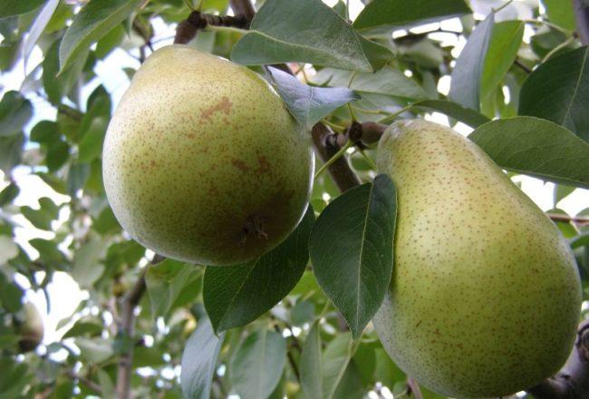Зеленые плоды груши сорта Бере Мичурина на ветке рослого дерева