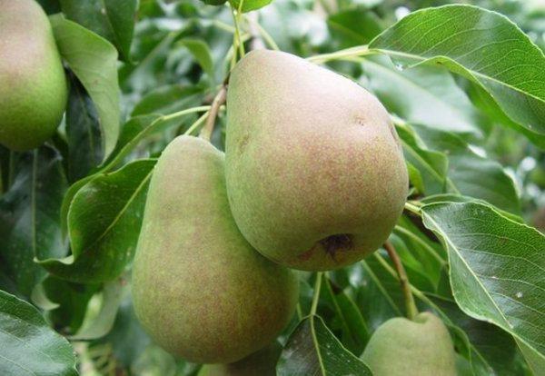 Зеленоватые плоды груши Русская Красавица на дереве