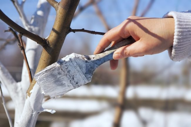 Побелка груши известковым раствором поздней осенью