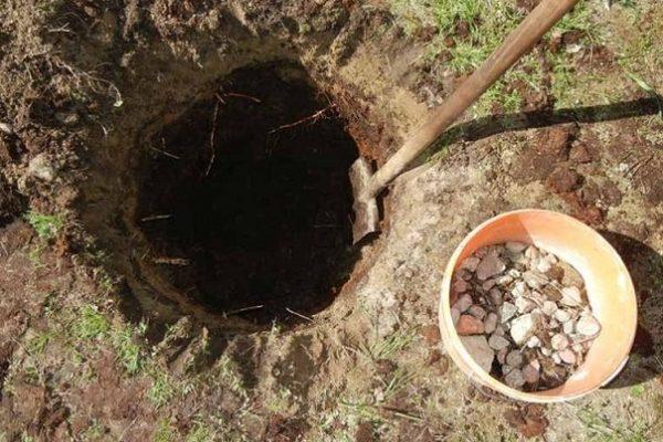 Подготовка посадочной ямы для осенней пересадки груши