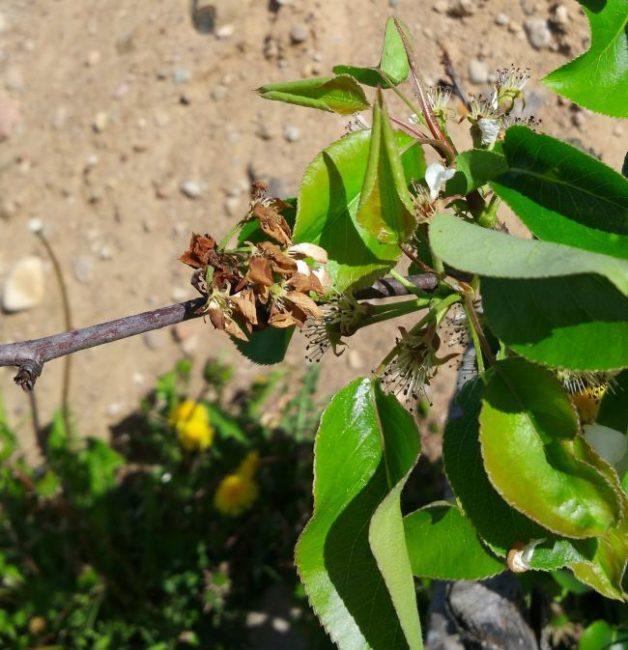 Засыхание ветки груши вследствие зимнего подмерзания