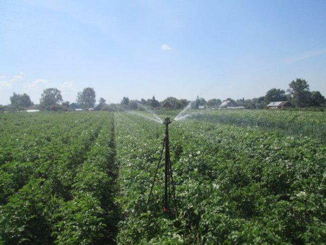 Полив из дождевателя картофельного поля фермерского хозяйства