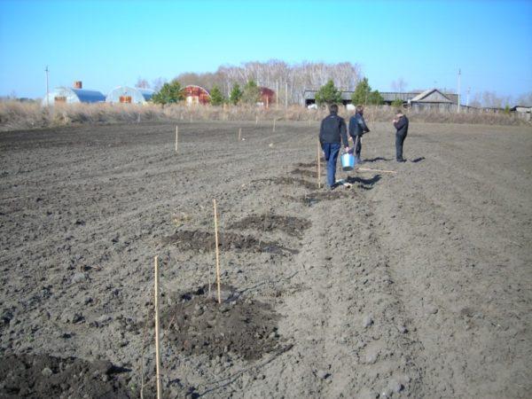 Закладка грушевого сада на фермерском поле