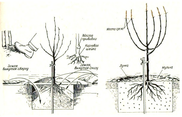 Алгоритм подготовки ямы и схема посадки саженца груши