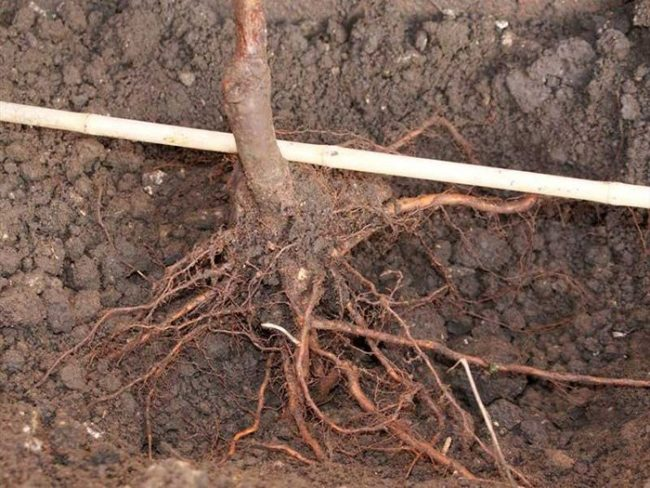 Правильное расположение корневой шейки при посадке груши