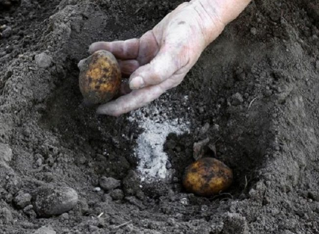 Посадка семенного картофеля в неглубокие лунки с внесением золы