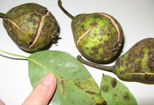Больные плоды и листья с грушевого дерева, зараженного паршой