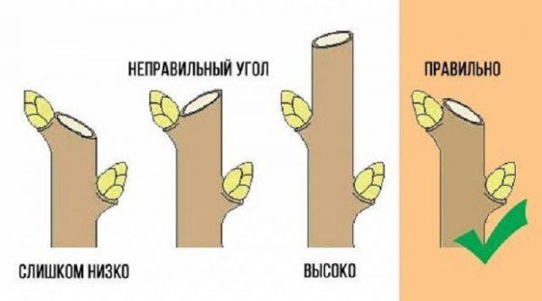 Схема правильной обрезки ветки груши и распространенные ошибки