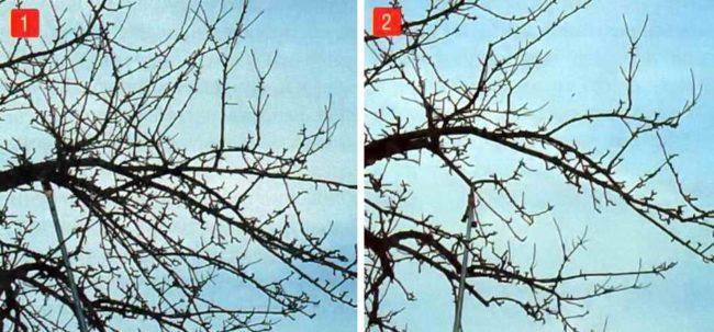 Фото веток груши до и после прореживающей обрезки