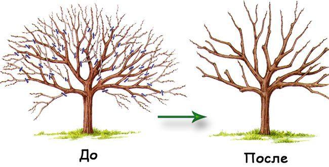 Схема средней прореживающей обрезки кроны груши