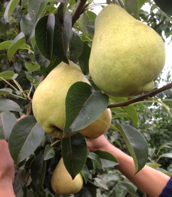 Фото плодов груши осеннего срока созревания сорта Просто Мария