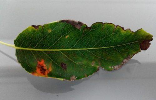 Оранжевое пятно на больном листе садовой груши