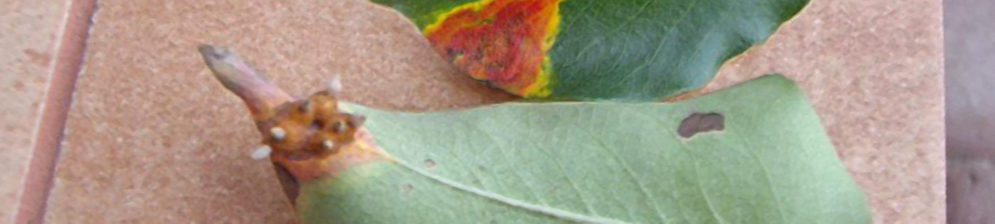 Оранжевое пятно на листе груши