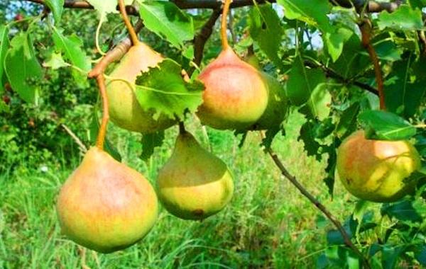 Плоды груши сорта Десертная Россошанская в период созревания