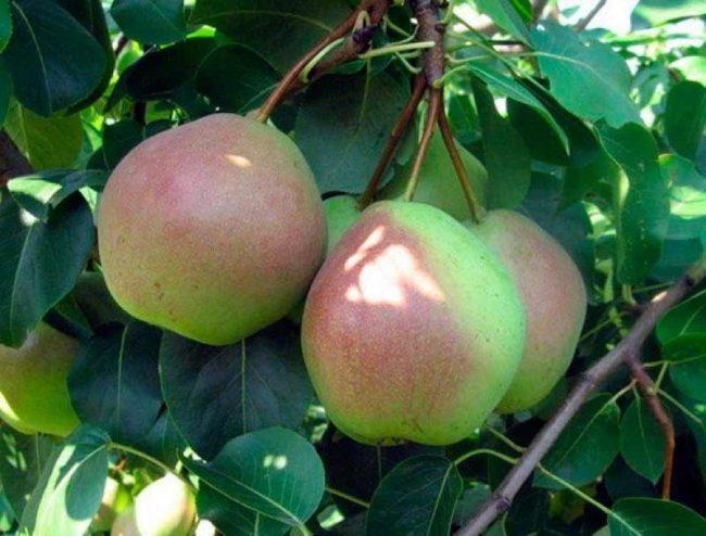 Зеленовато-красные плоды груши сорта Россошанская Поздняя