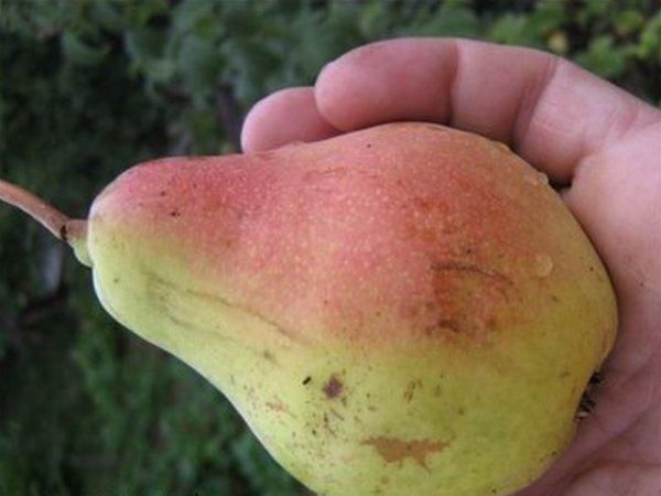 Крупный плод груши сорта Русская Красавица в ладони садовода