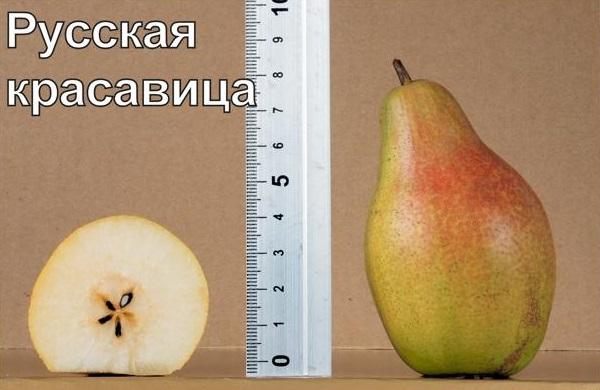 Размеры и мякоть с семечками плода груши сорта Русская Красавица
