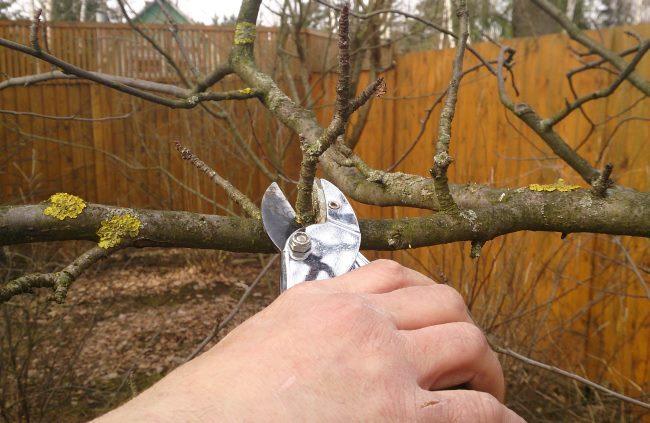 Санитарная обрезка веток груши ранней весной