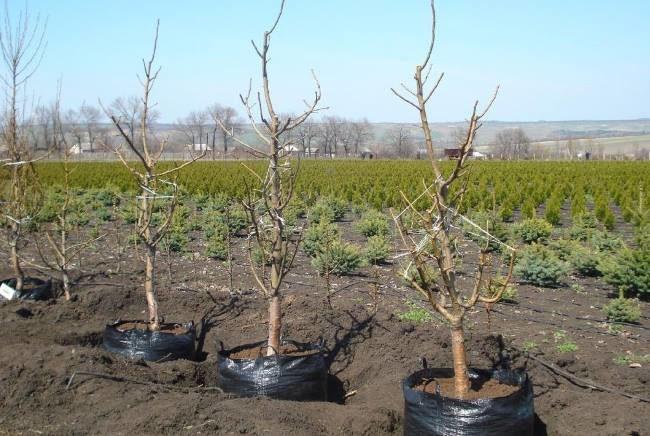 Саженцы груши с закрытыми корнями из плодоовощного питомника