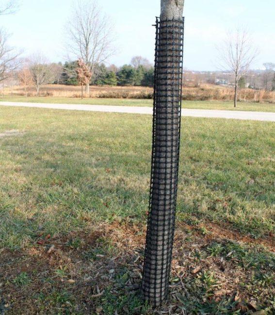 Пластиковая сетка на стволе груши для защиты от грызунов и зайцев