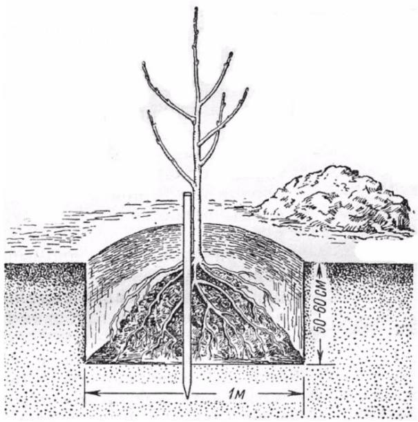 Схема и размеры обычной посадочной ямы для груши