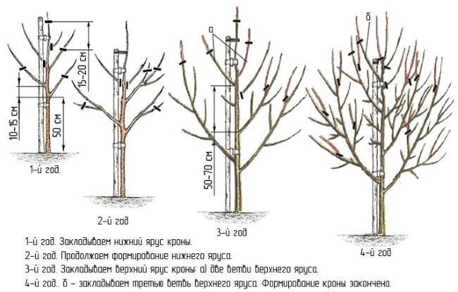 Схема обрезки груши с первого по четвертый года жизни дерева