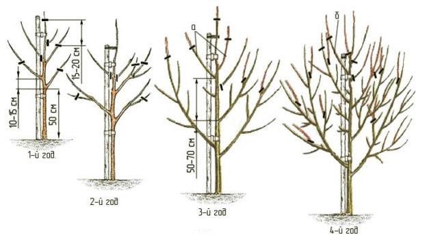 Схема обрезки груши с первого по четвертый года жизни растения